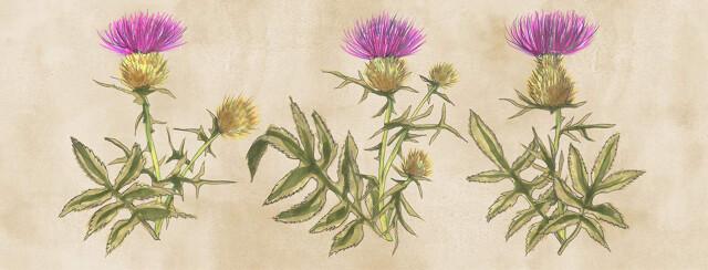 a vintage botanical illustration style of the milk thistle plant