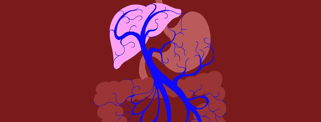 a showcase of the human portal vein which is targeted by beta blockers used for liver disease